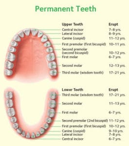 Healthy adult (permanent) teeth